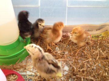 Chicks & Camping Prep